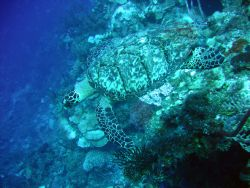 Hawksbill turtle, Roatan, Honduras. Taken with Canon A95 by Katie Dann 